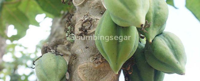 cara perawatan tanaman carica